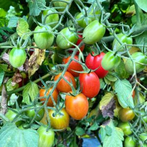 Organic grape tomatoes on the vine