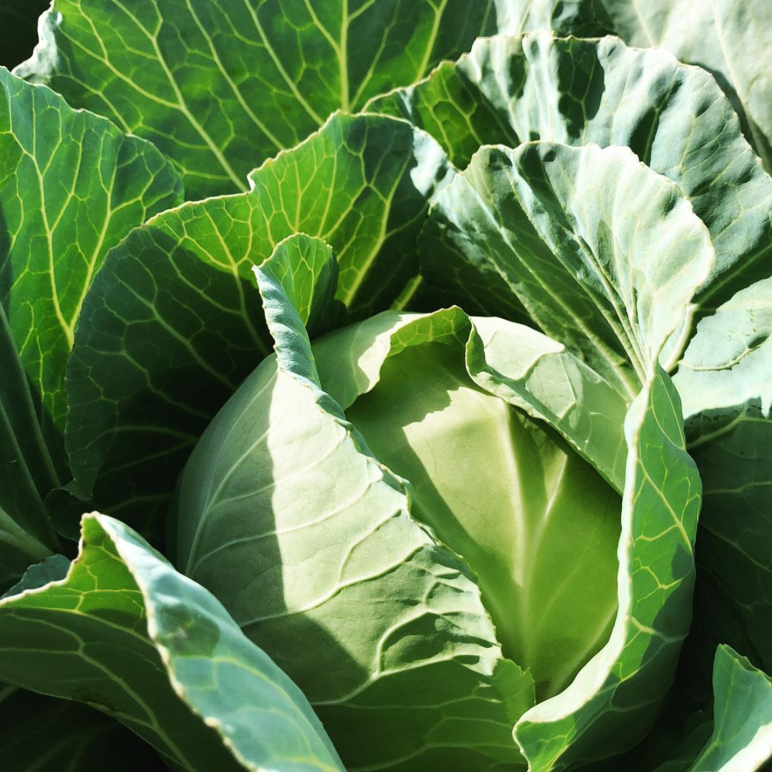 Organic cabbage in the field