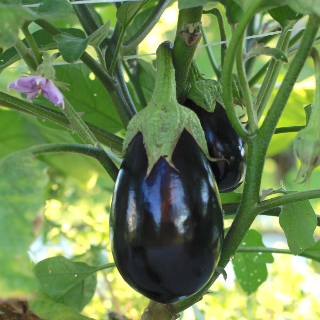 Organic Eggplant growing on the plant